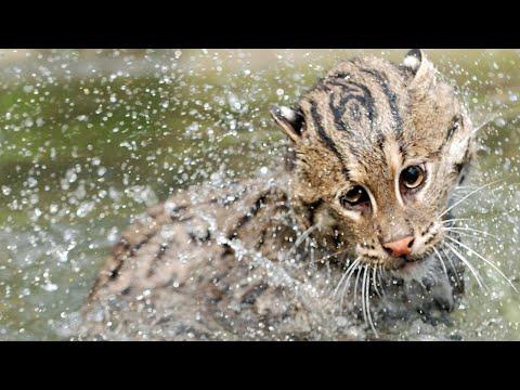 ВИВЕРРОВЫЙ КОТ РЫБОЛОВ - мастер охоты на рыбу и таинственный житель азиатских лесов !