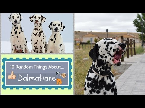 10 Random Things About...Dalmatians