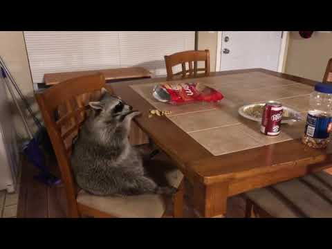 The Woody Show - Raccoon News: Raccons Can Sit at Tables and Eat Chips Like People
