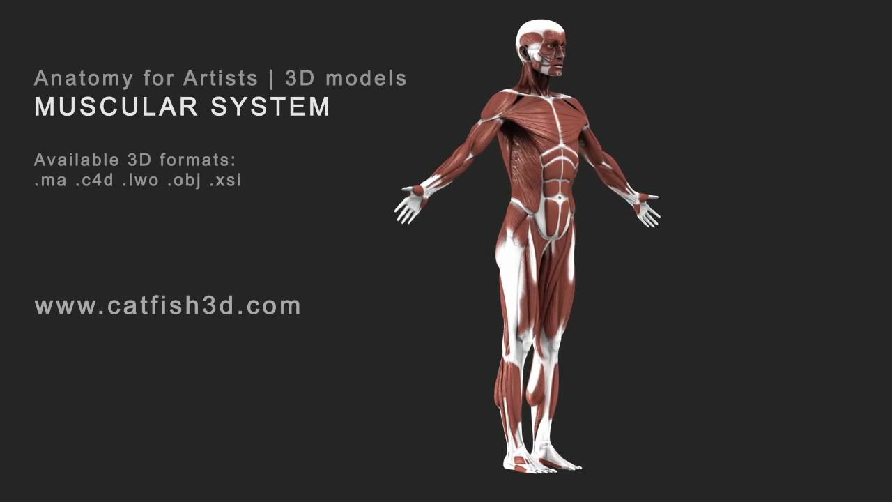 Anatomy for artists 3D - YouTube