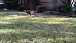 Akc Champion Chocolate Hunterscreek Lab Pups