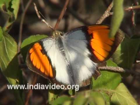 White Orange Tip or Ixias Marianne