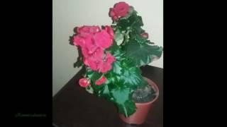 Уход за домашней бегонией(http://remont-i-dizain.ru/uhod-za-domashnej-begoniej/ Бегония Элатиор – это изумительное растение, которое цветет и зимой и летом,..., 2016-06-05T22:19:15.000Z)