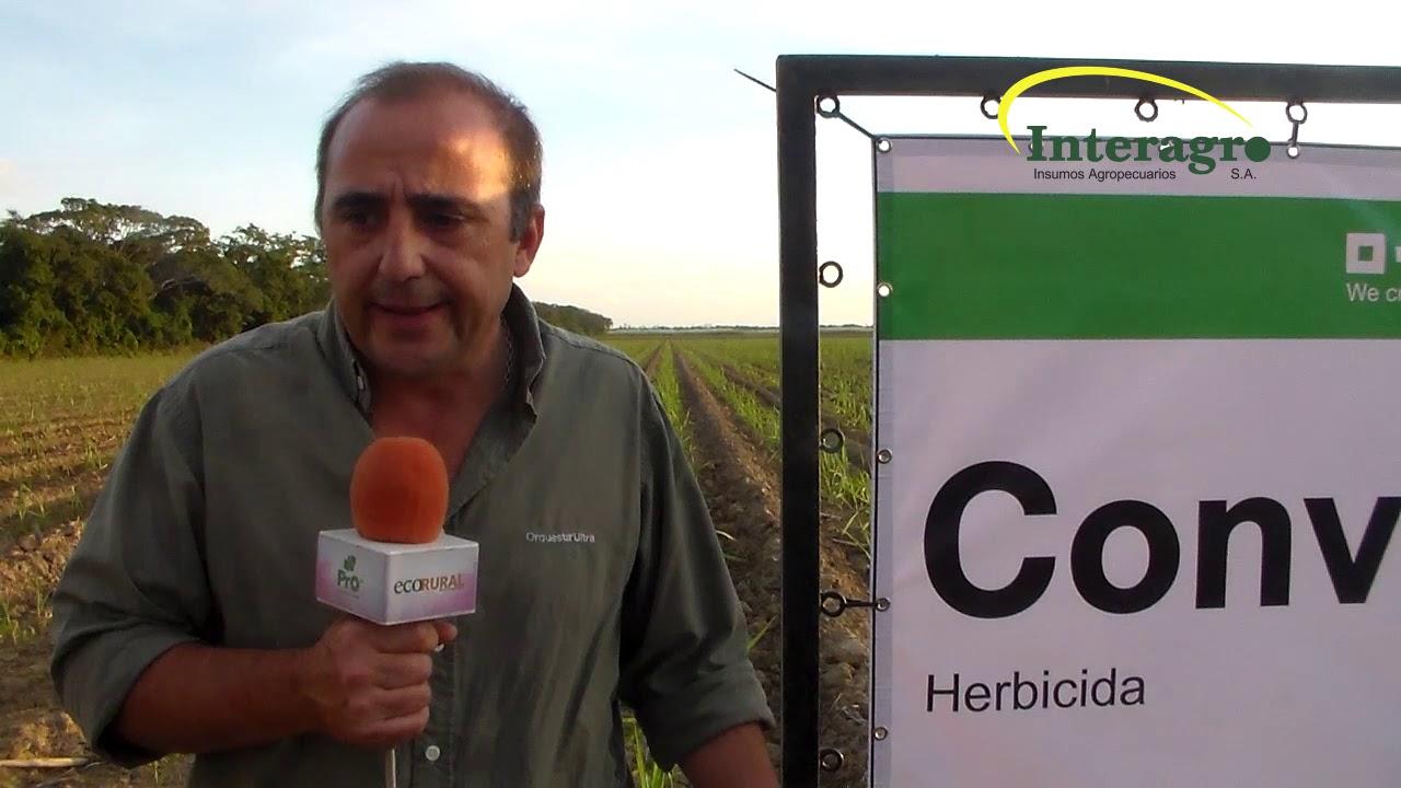 Download INTERAGRO  y BASF presentan su herbicida CONVEY para uso en caña de azúcar