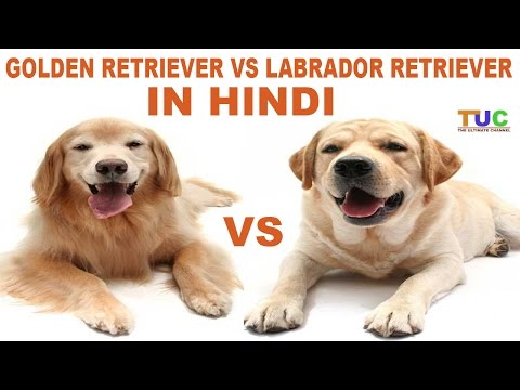 Labrador Retriever Vs Golden Retriever In HIndi | Dog Comparison | The Ultimate Channel