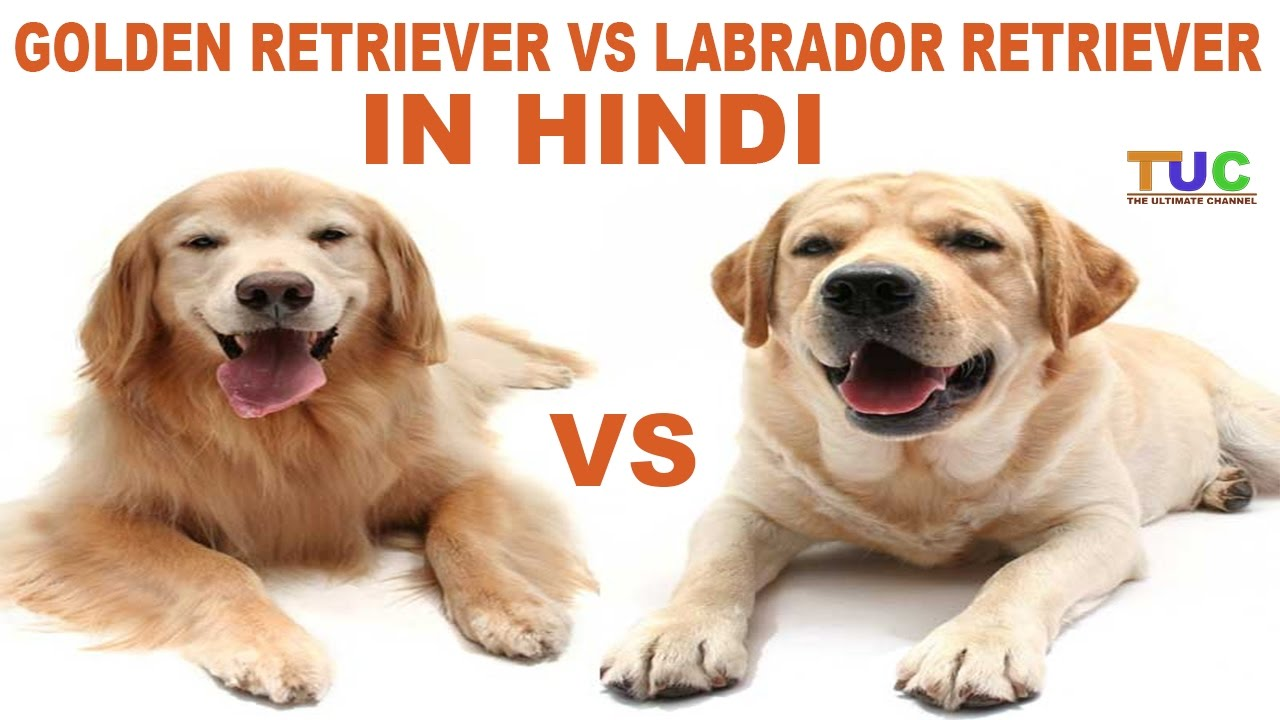 Labrador Retriever Vs Golden Retriever In Hindi Dog Comparison