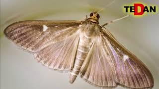 Ćma bukszpanowa - Cydalima Perspectalis szkodnik zagrażający bukszpanom