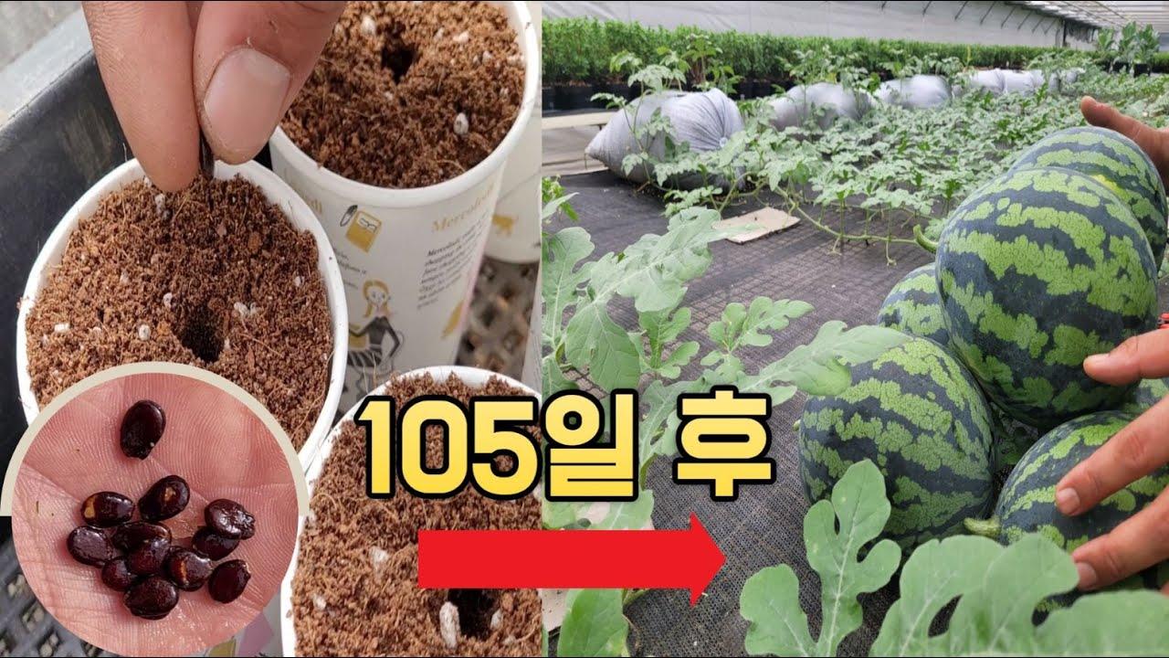 종이컵에 심은 🍉수박씨, 105일간의 수확 도전기 (feat. 텃밭지기)