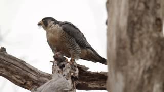 Peregrine Falcon Eating Prey