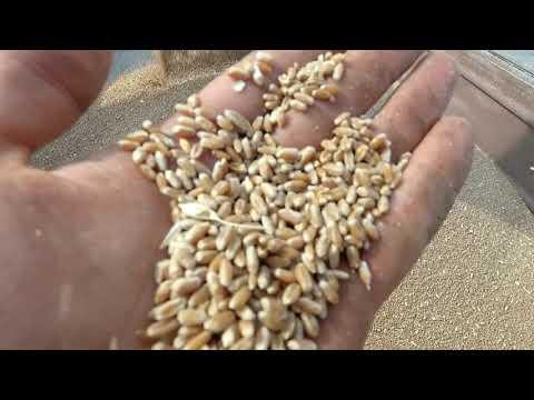 Уборка озимой пшеницы. Урожайность пшеницы 2019