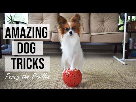 Amazing Dog Tricks // Percy the Papillon Dog