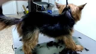 Стрижка собаки йорк машинкой codos cp 9600