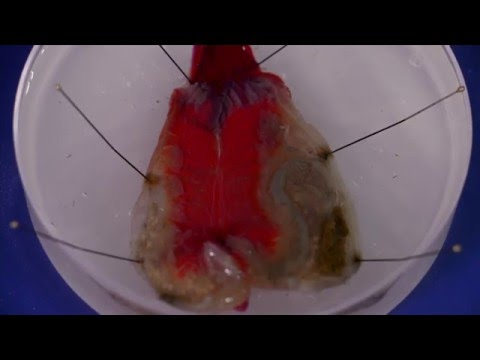 How to dissect a solitary ascidian