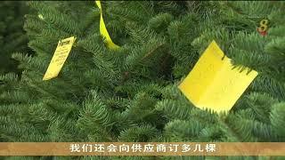 今年美国进口天然圣诞树供应吃紧 圣诞树需求增加 - YouTube