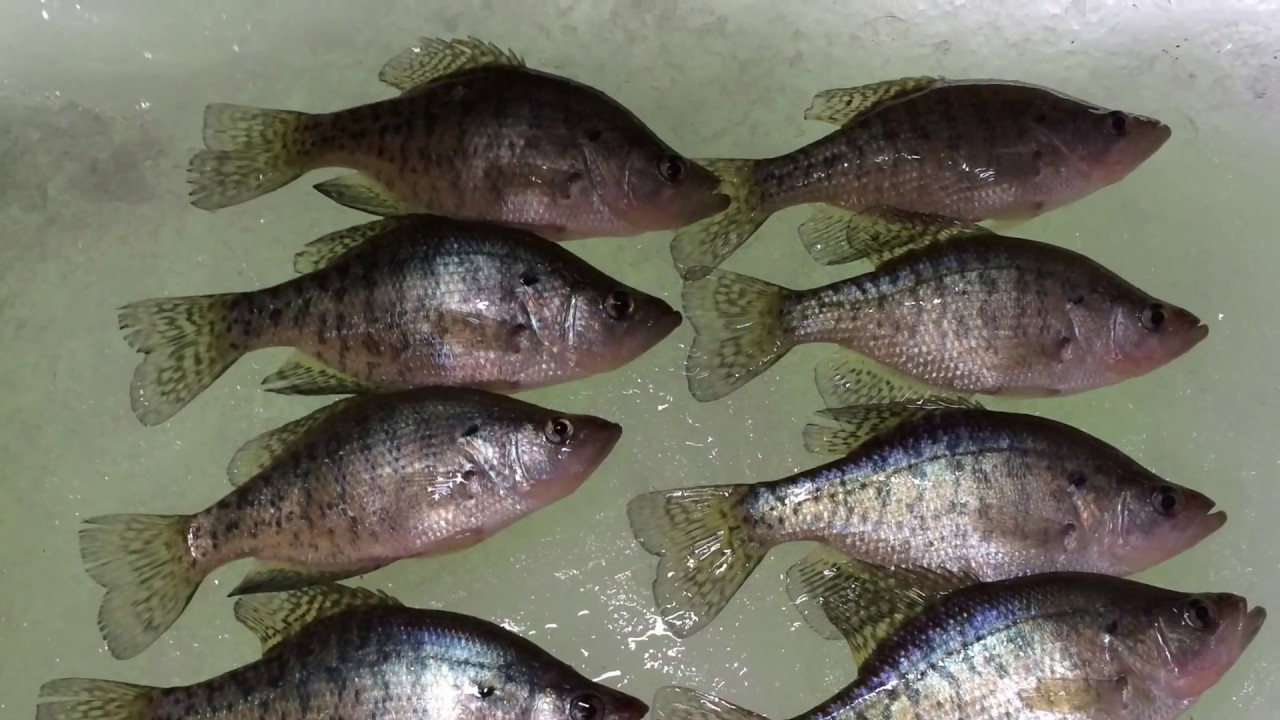 Shabbona lake 1 19 2015 crappie and channel cat fishing for Shabbona lake fishing report