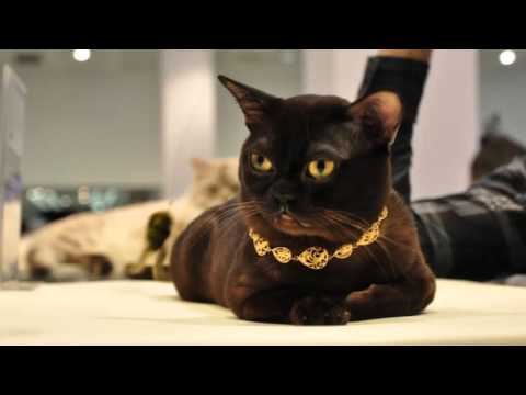 Beautiful photos of cats of breed British