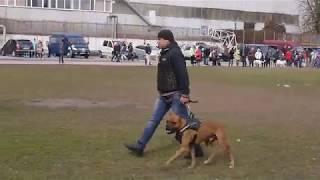 Немецкий боксер Собака сопровождения ЗКС г.Кременчуг