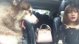 Mật theo chủ đi làm ::) say xe phê đần người ::) - Mật Pet Family