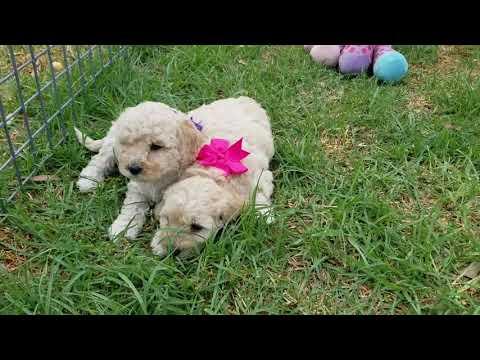 Bichoodle pups female