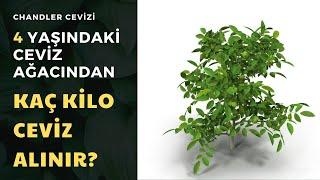4 Yaşındaki Chandler Ağacından Kaç Kilo Ceviz Alınabilir?