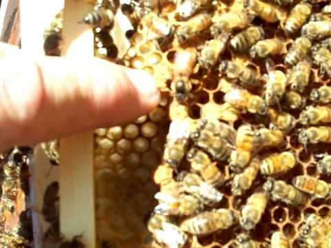Beekeeping,Virgin Queen Bee Piping On Honey Comb by John Pluta,Beekeeper