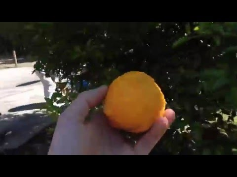 Productive Citrus Trees - Grown From Seed!