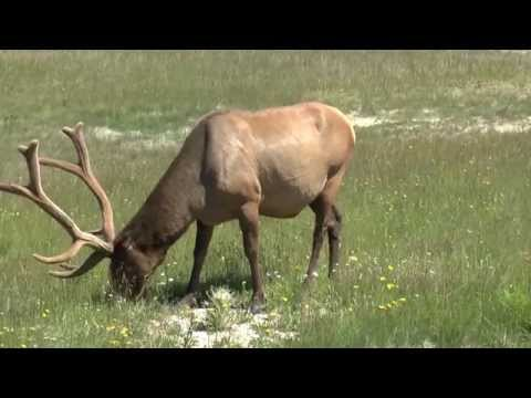 Yellowstone   9 July '14   Elk Encounter #1
