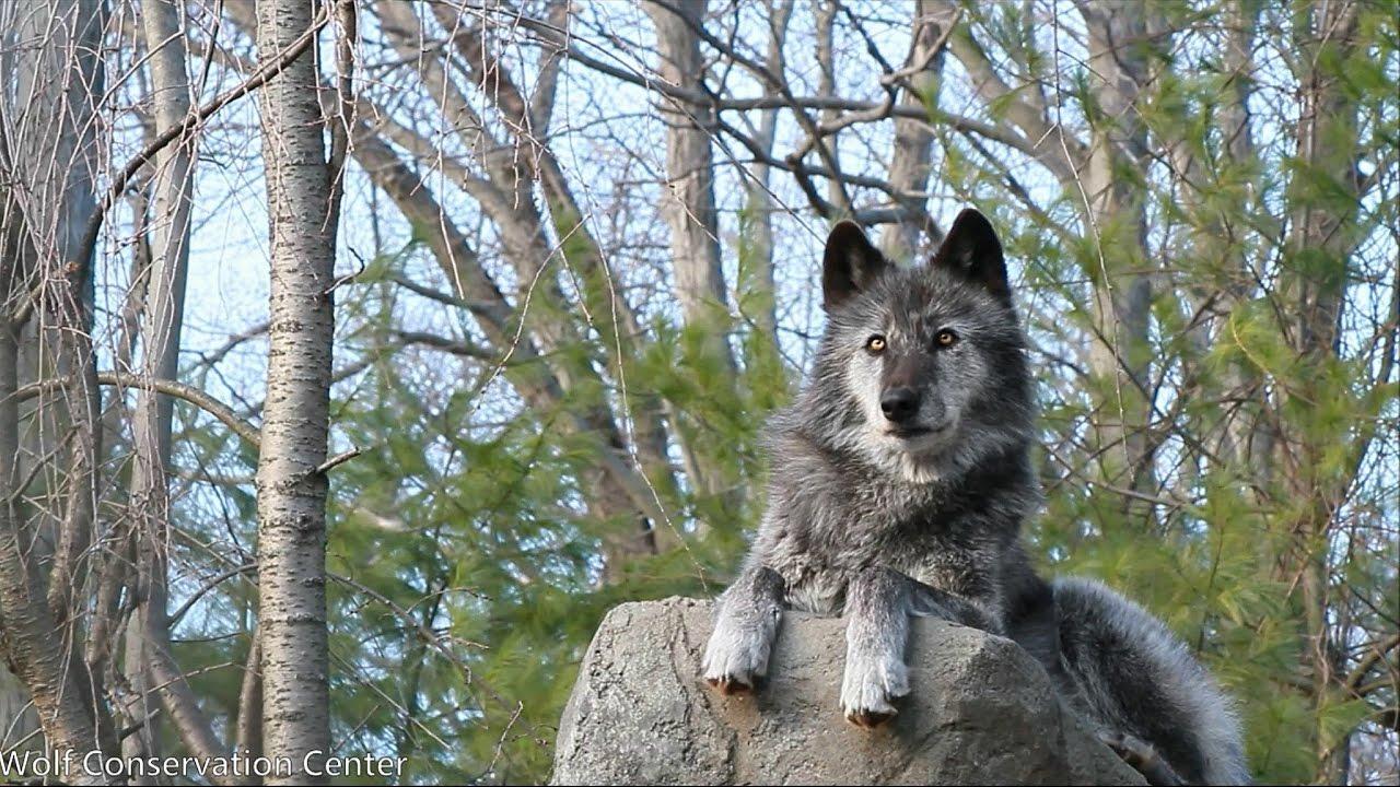 Beautiful Black Wolf Sings