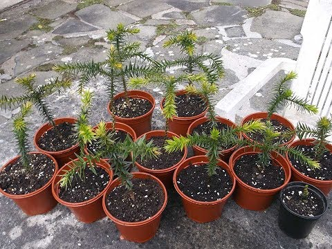Potting on my Monkey Puzzle Tree Seedlings - Araucaria araucana