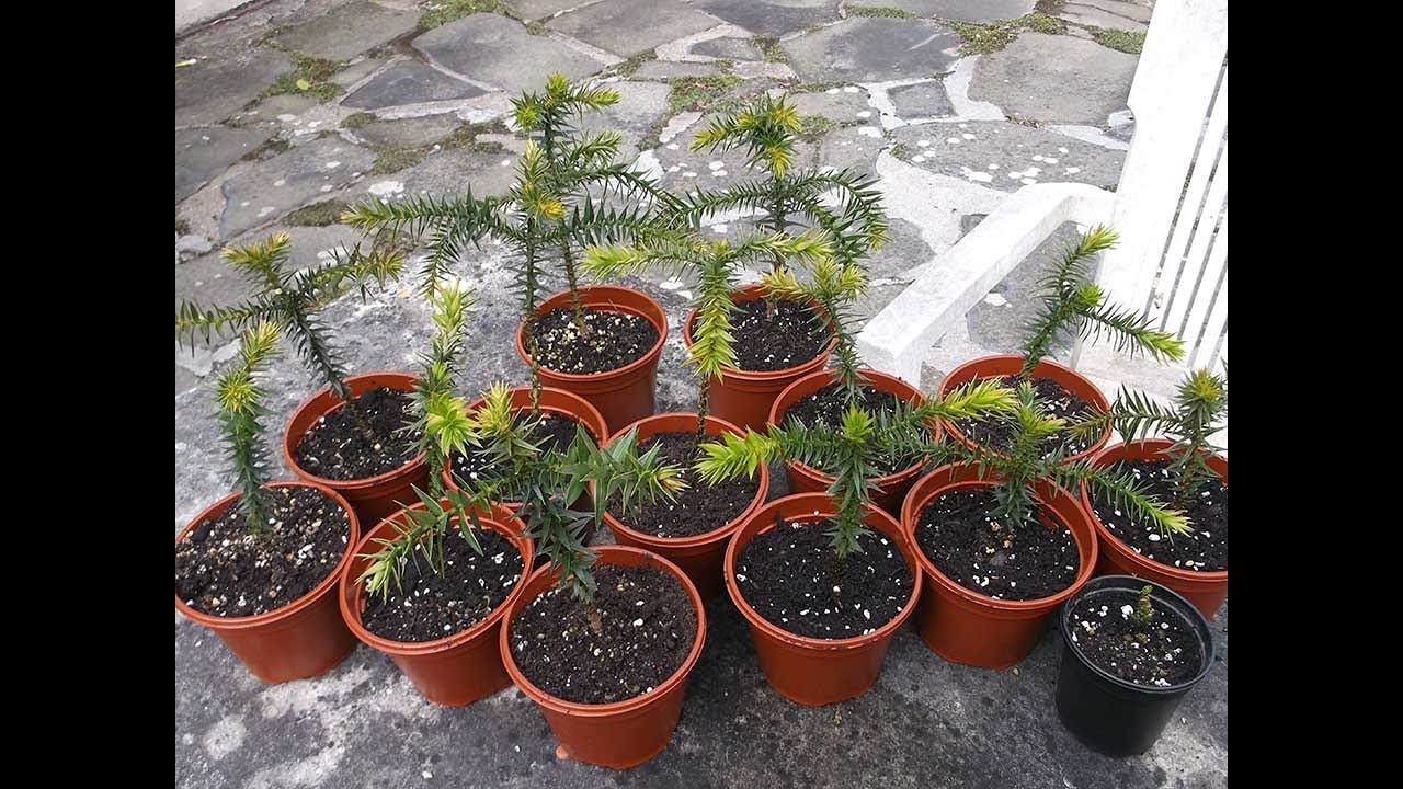 Potting On My Monkey Puzzle Tree Seedlings Araucaria Araucana Youtube