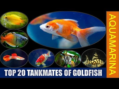 Top 20 Tankmates Of Goldfish | (Revised) List Of Fishes Compatible With Goldfish || Aquamarina