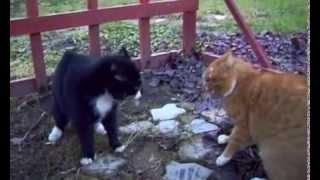 черный кот против рыжего