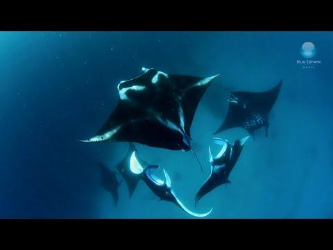 The Breathtaking Mating Behavior of Manta Rays