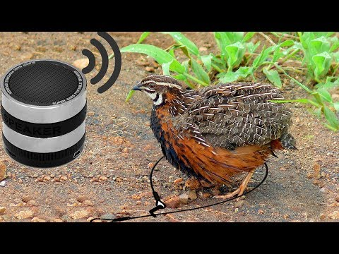 Awesome Quick Bird Trap Using MP3 Sound Call -  How To Make Best Foot Bird Trap Work 100%