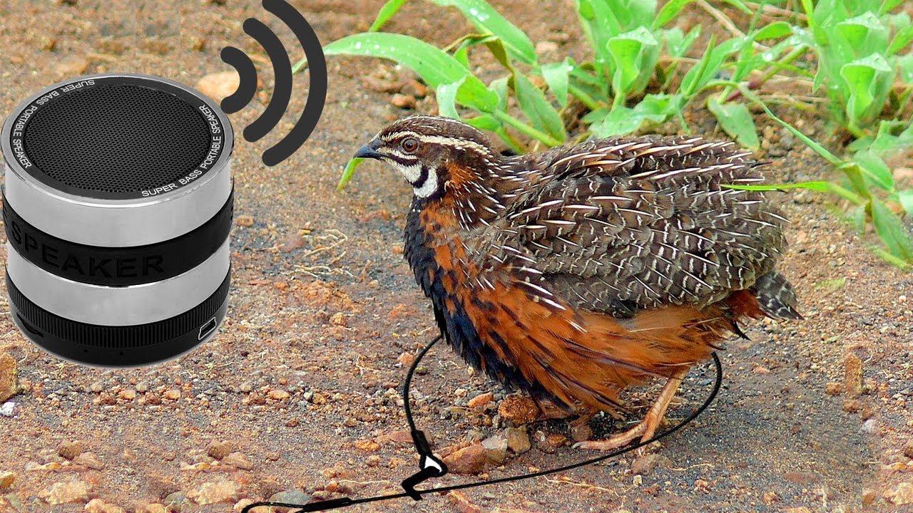 Awesome Quick Bird Trap Using Mp3 Sound Call How To Make