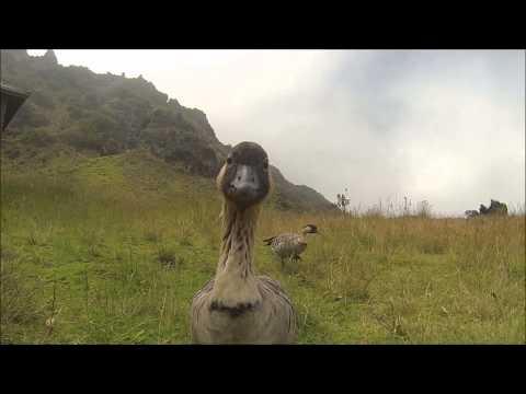 Nene Goose in Haleakala National Park ~ Nene Geese on Maui, Hawaii