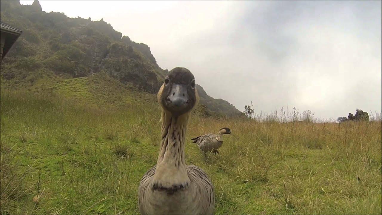 Nene goose in haleakala national park nene geese on maui hawaii nene goose in haleakala national park nene geese on maui hawaii youtube publicscrutiny Image collections