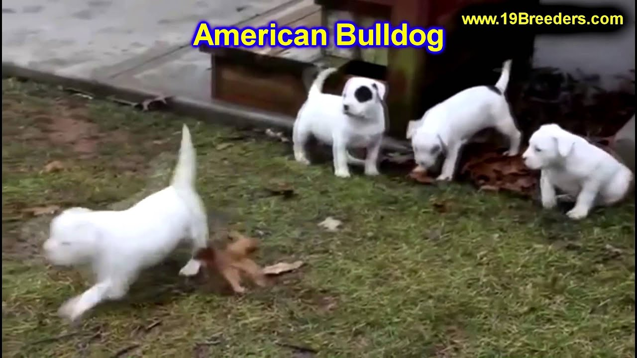 American Bulldog, Puppies, Dogs, For Sale, In Phoenix ...