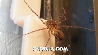 Araña escupidora / Araña Tigre (Scytodes globula) - Chilean tiger spider
