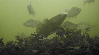 ЭТИ ЗВЕРИ РВУТ ЛЕСКУ: ОКУНЬ и РОТАН | зимняя рыбалка 2019 | мормышка |  подводная камера для рыбалки
