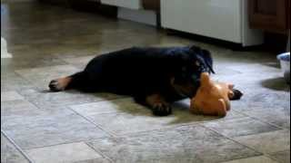 Rottweiler Puppy Playing With A Squeeker Toy. Rottweiler Puppies For Sale In Tn.