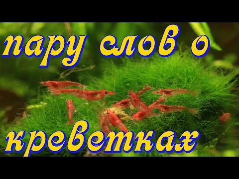 Креветки в аквариуме содержание с рыбами! Креветки аквариумные Черри, вишня, неокардинки