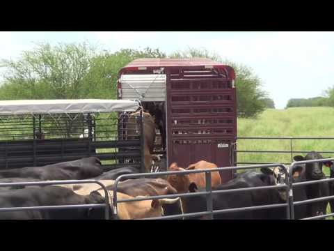 South Texas Cattle at the LHK Ranch (drop-off)