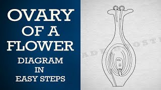 How to draw #ovary of a flower in easy steps : ncert class 10 : Biology :CBSE X science