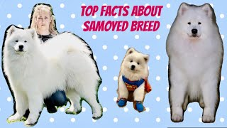 Top Facts Samoyed Breed || Best Samoyed in India || Top Notch Samoyed Puppies available 9548400013☎