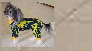 одежда зимой собаке  - Китайская ХОХЛАТАЯ собака