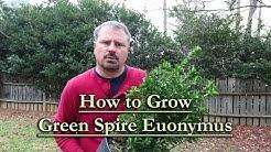 How to grow Green Spire Euonymus (Upright Narrow Evergreen Shrub)