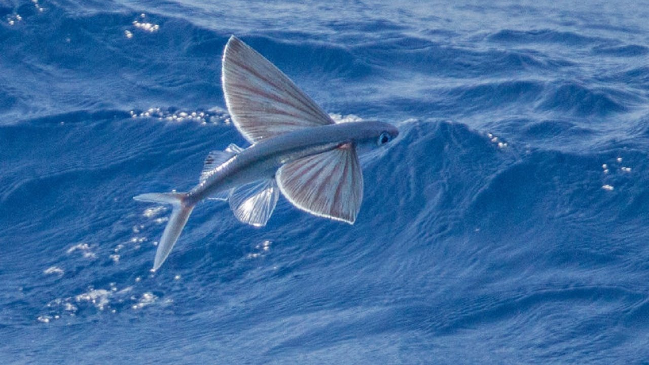 Flying fish video flying fish attack flying fish for Flying fish images