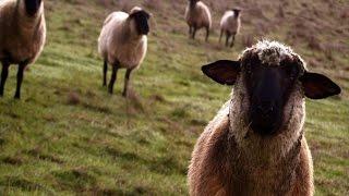 Приколы про баранов, коз, смешные животные № 17