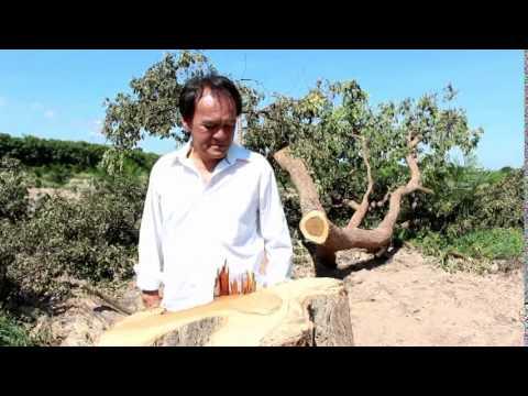 โจรเหิมโค่นต้นพะยูง ศุภรักษ์ ควรหา อดีต ส ส สุรินทร์ ในศูนย์ประสานงานพรรคชาติไทยพัฒนา